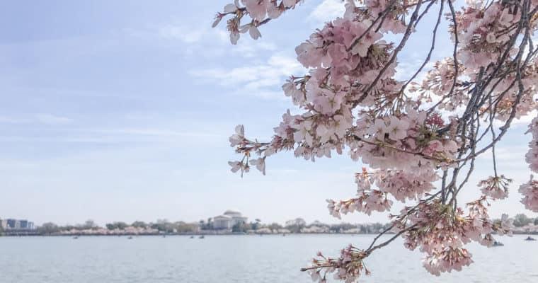 A w Waszyngtonie kwitną wiśnie – Cherry Blossom Festiwal