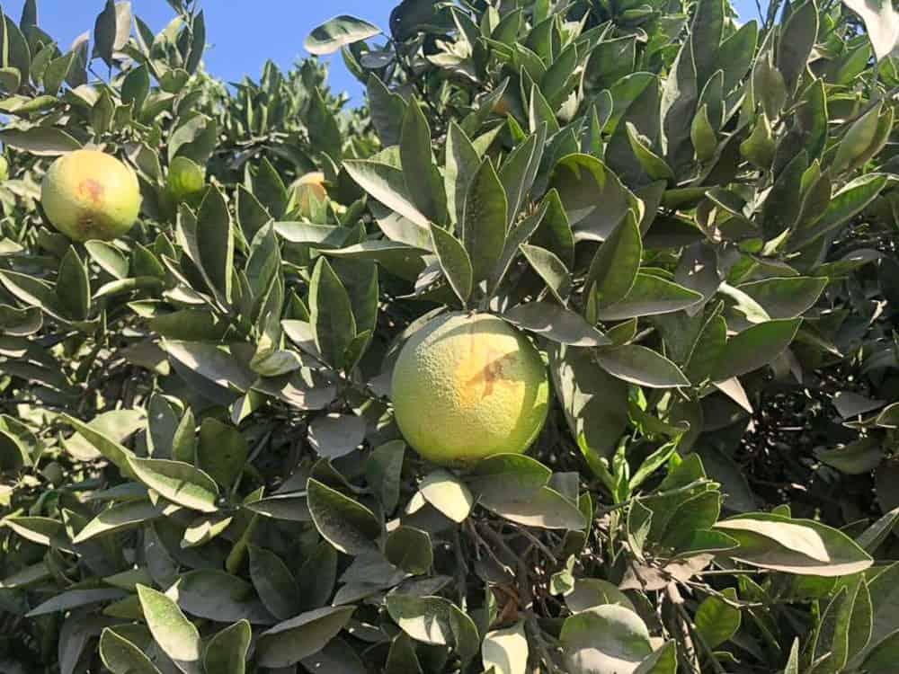 usa pomarancze